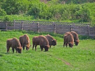 The_Bison_Reserve_in_Hateg_-_Rezervatia_de_zimbri_din__Hateg_1_